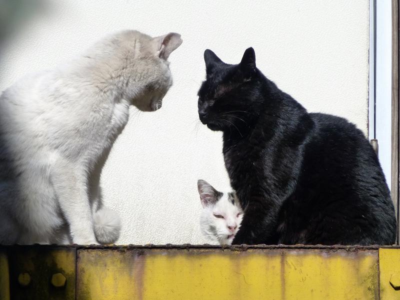 睨み合ってる猫たちに仲裁に入る白キジ猫