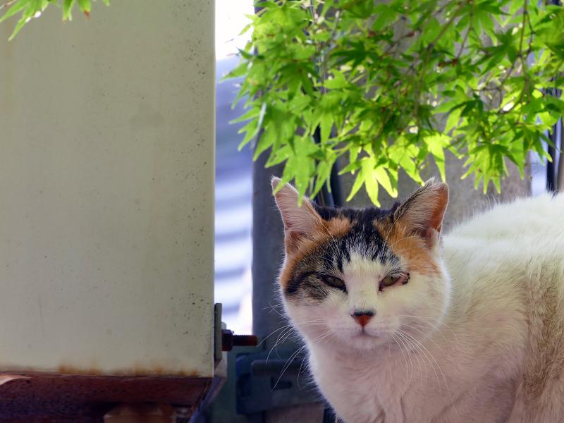 初夏紅葉と猫1