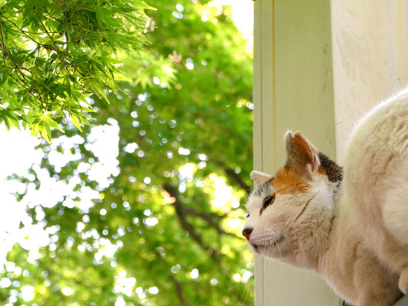 初夏紅葉と猫2