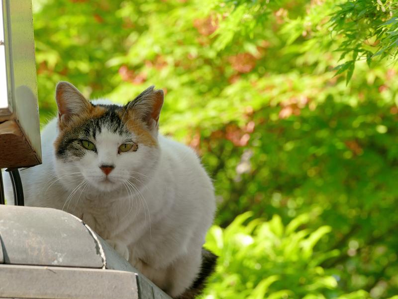 初夏の紅葉と猫1