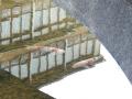 大谿川の鯉