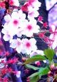 ②桜と葉っぱ