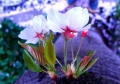 ④胴吹き桜