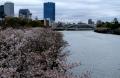 ①大川と桜と大阪城(源八橋より)