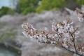 ⑤桜の小枝と遠くの桜