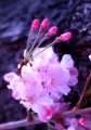 ⑦可憐な胴吹き桜