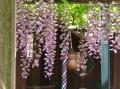 「藤と鈴」春日神社
