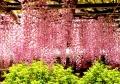 ピンクの藤と若葉