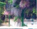 藤と子ども(下福島公園)