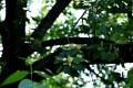 ⑨ユリの木の花
