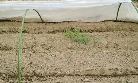 トンネル内のほうれん草・大麦と。