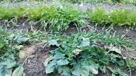 ほうれん草と水菜