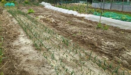米ぬか散布で土ごと発酵