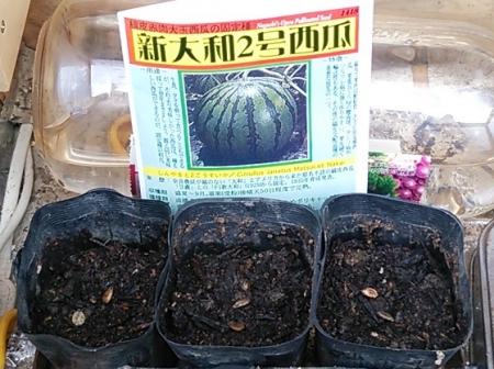 スイカの種蒔き