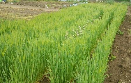 大麦の出穂