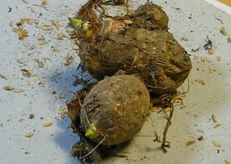 里芋(小芋)の芽