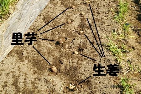 里芋と生姜の配置 混植