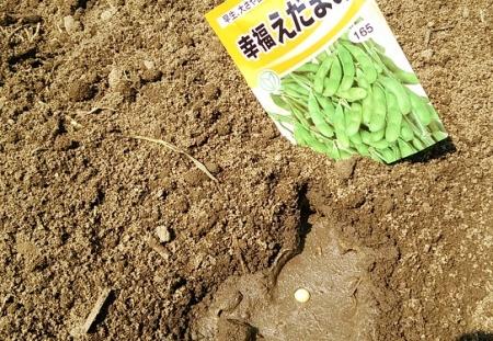 枝豆 種蒔き