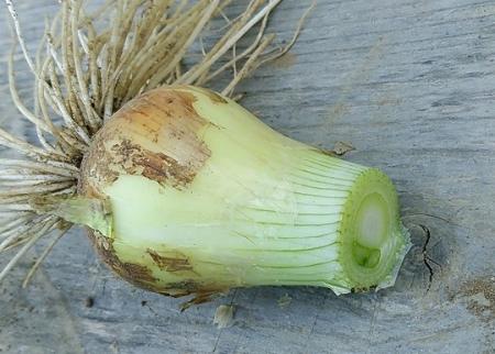 玉ねぎの芯 頭頂部