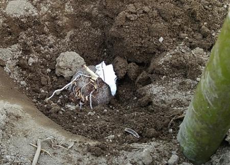大和芋 植え付け