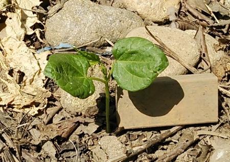 こぼれ種 小豆