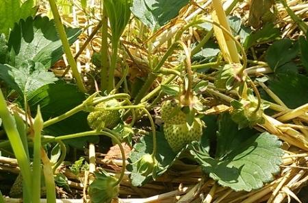 イチゴの実 収穫間近2