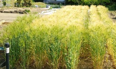 大麦 全景