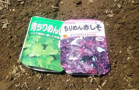 シソ種蒔き