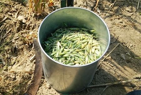えん麦 採種