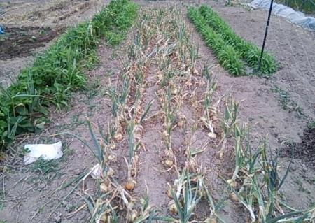 玉ねぎ収穫間近