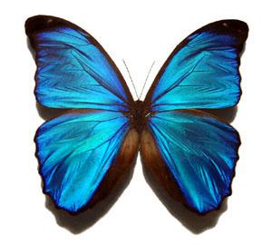 Blue_morpho_butterfly_300x271[1]