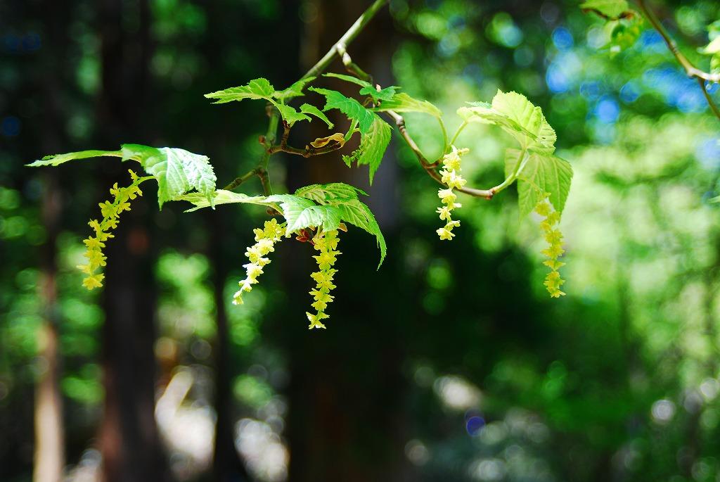 瓜膚楓(うりはだかえで)