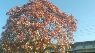 稲城の桜_005
