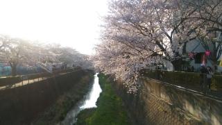 稲城の桜_004