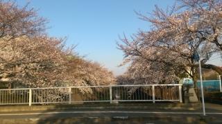 稲城の桜_003
