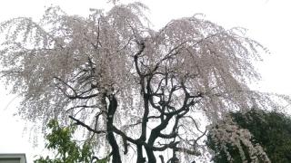 稲城の桜_002