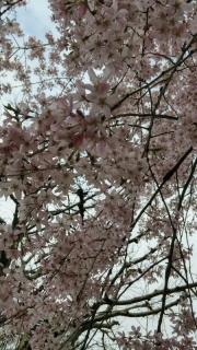 王禅寺の桜_06