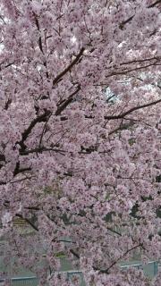 王禅寺の桜_03