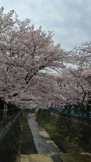 王禅寺の桜_02