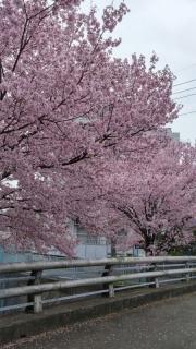 王禅寺の桜_01