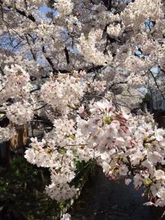 宿河原の桜_03