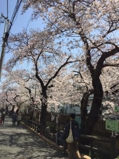 宿河原の桜_01