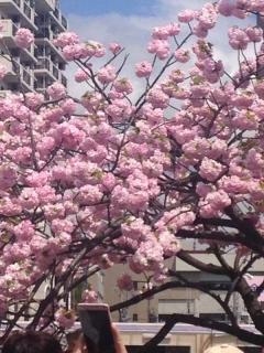 造幣局 桜1
