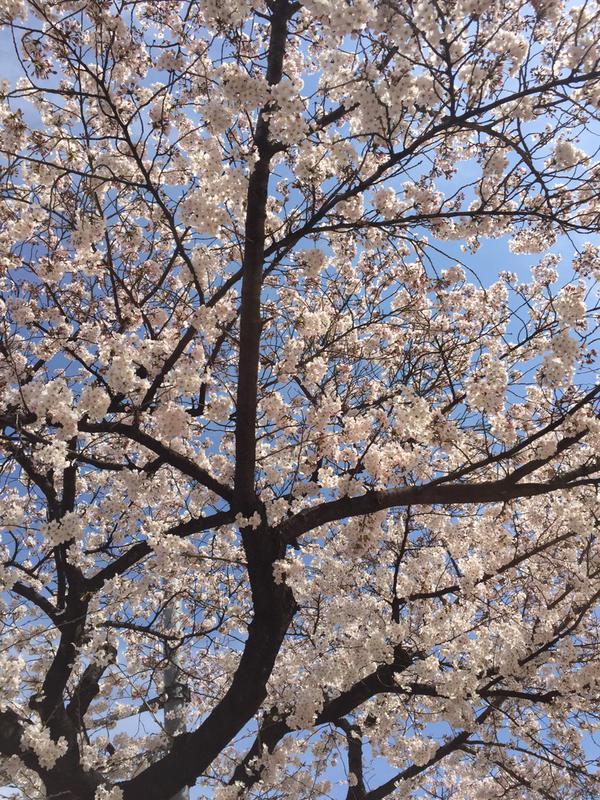 真保さん桜2015