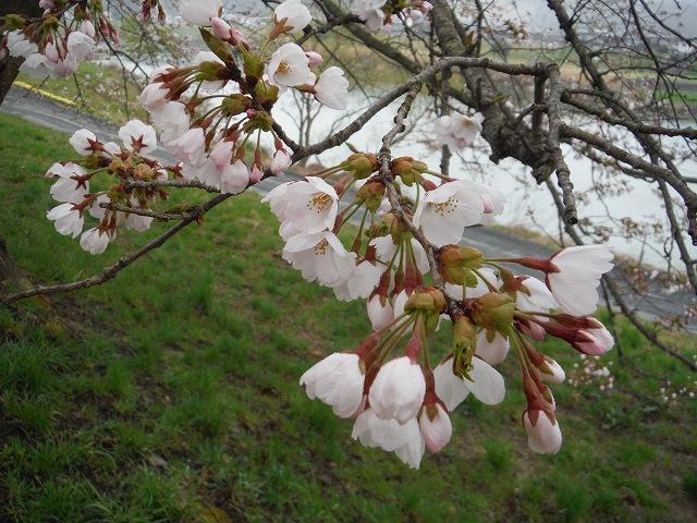 02ひと目千本桜DSCF5301-200