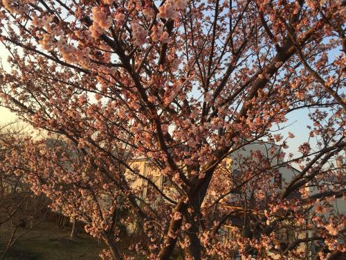 山の手桜2.12