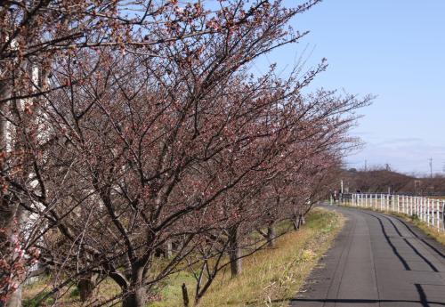 山の手桜 27.1.31