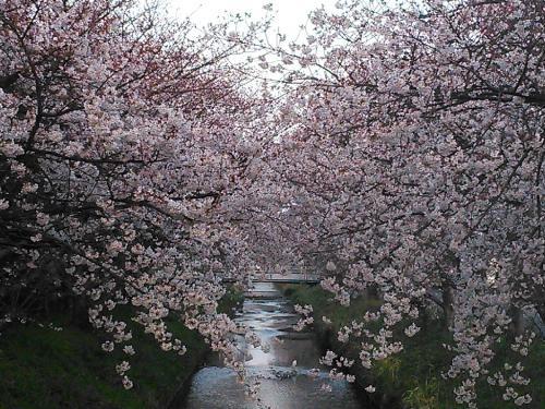 木屋川桜20150330-2