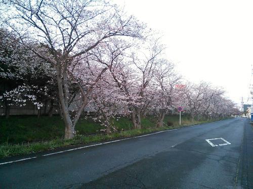 木屋川桜20150330-3
