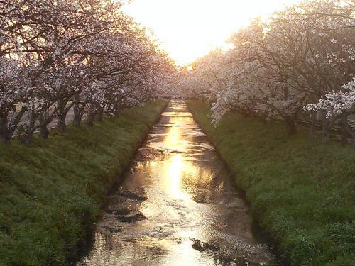 木屋川桜20150330-1